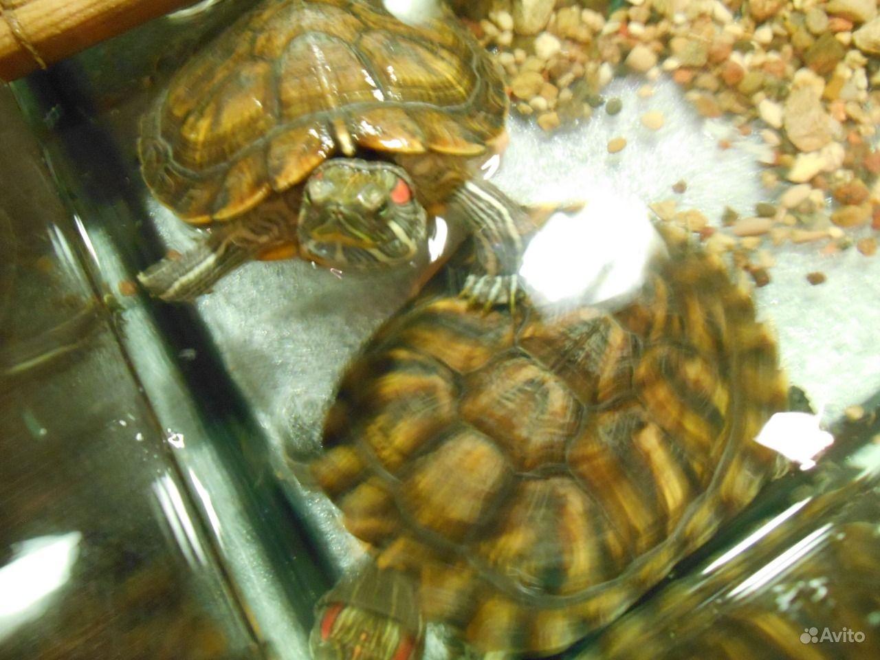 Чем кормить красноухую черепаху, в домашних условиях 91