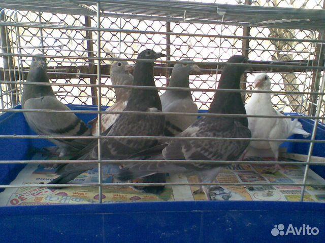 Почтовые спортивные голуби купить