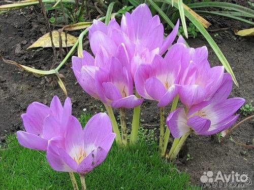 Цветы колхикум