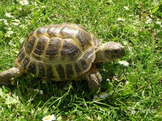 Сухопутная черепаха чем кормить - 5211