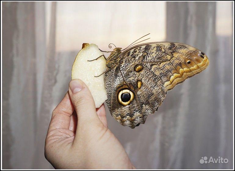Живые Тропические бабочки Сова Андромеда - фотография № 6