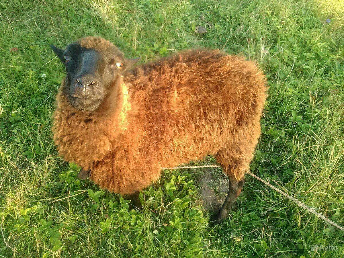 Овца в Моргаушах - фотография № 1