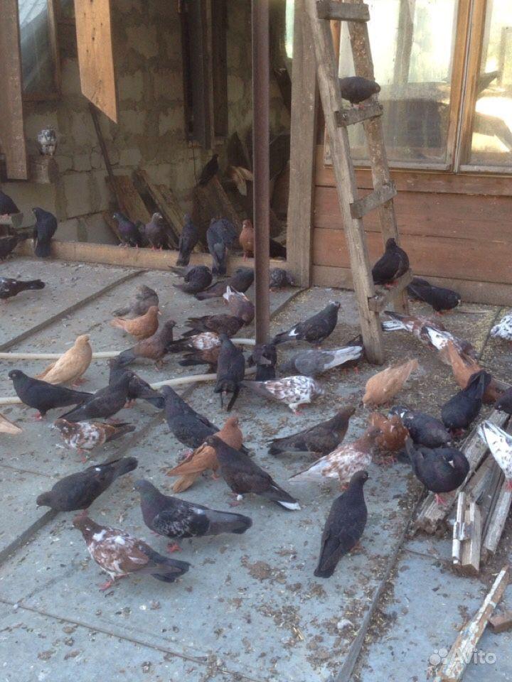 Продам Николаевских голубей