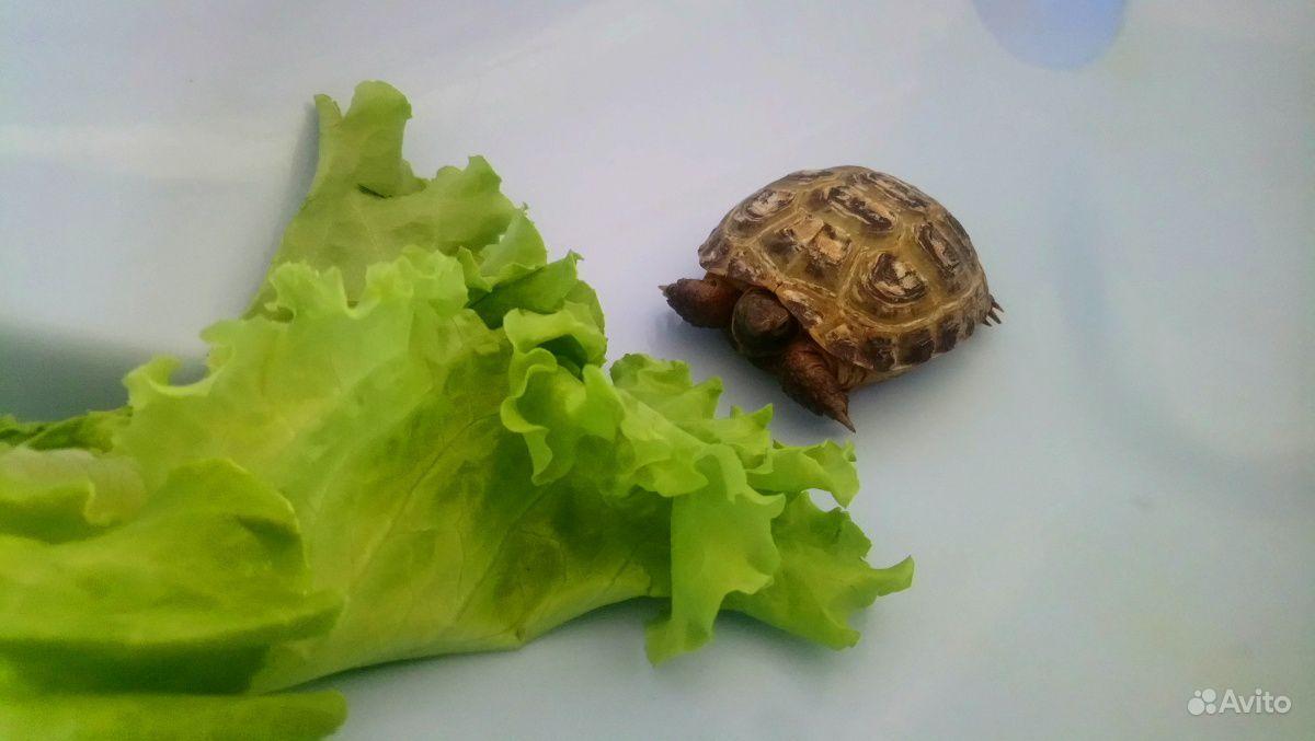 Черепаха сухопутная 2 года