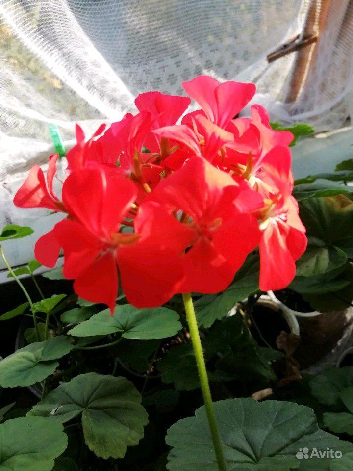 Герань белая, розовая, красная, малиновая купить на Зозу.ру - фотография № 5