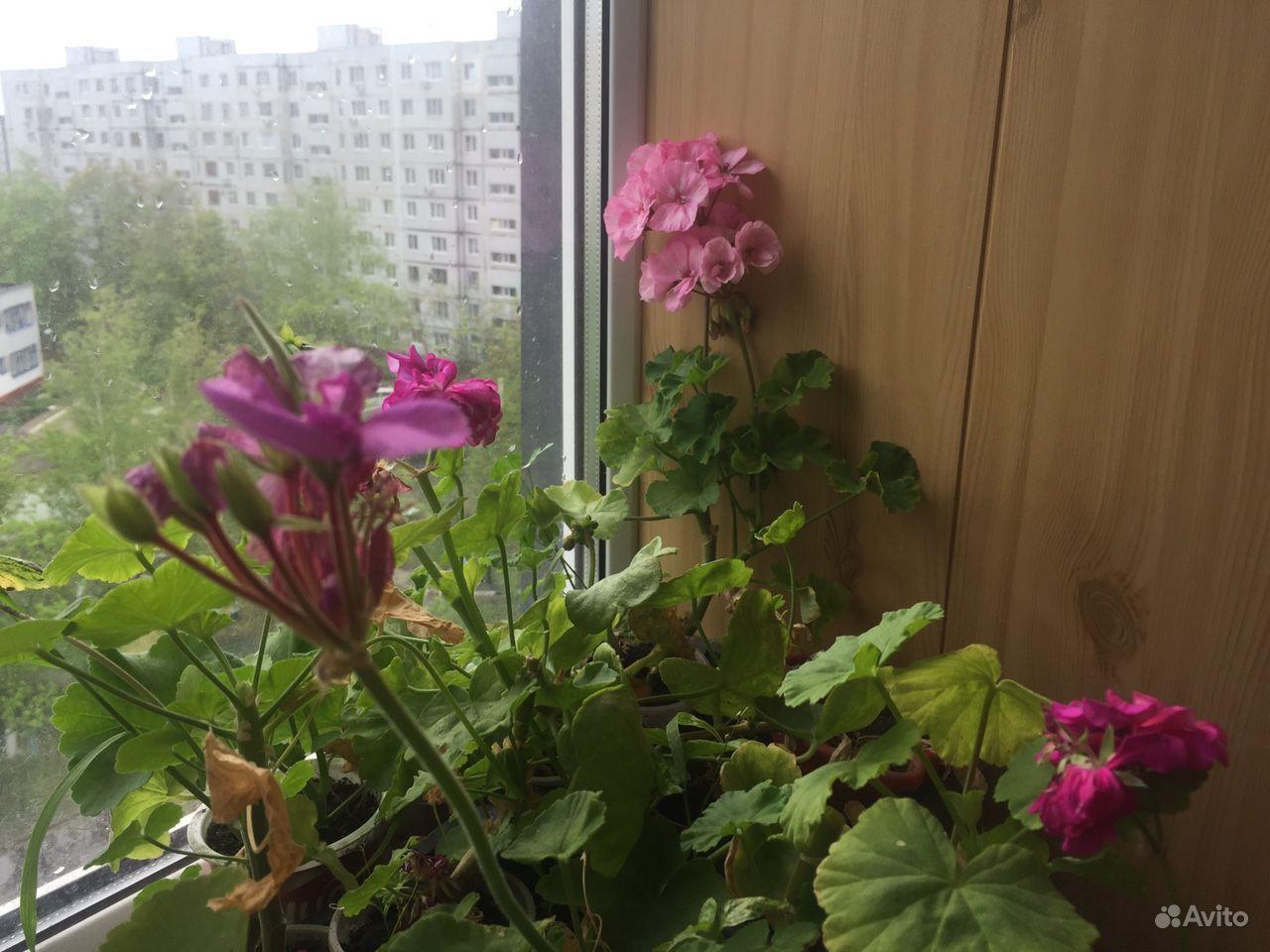 Герань пеларгония купить на Зозу.ру - фотография № 5