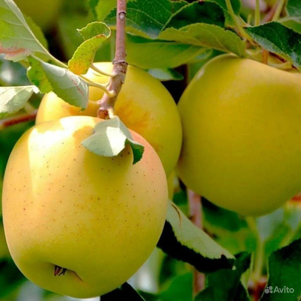 Саженцы яблони Гольден, Симиренко, Белый налив купить на Зозу.ру - фотография № 5