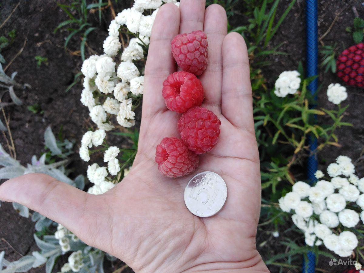 Саженцы малины купить на Зозу.ру - фотография № 7