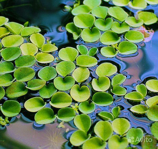 Сальвиния - плавающее растение для аквариума купить на Зозу.ру - фотография № 1