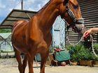 Шикарная молодая лошадь