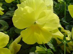 Виола лимонная оптом