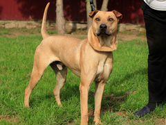 Добрейший пес Ричард 2 года ищет дом