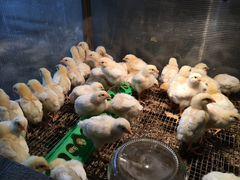 Цыплёнок бройлер