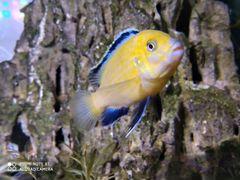 Аквариумные рыбы, Малавийские цихлиды