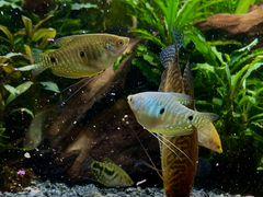 Гурами, аквариумные рыбки