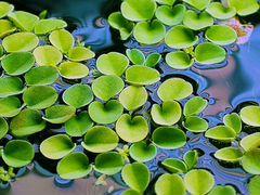 Сальвиния - плавающее растение для аквариума