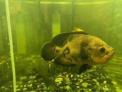 Рыба астрокотус