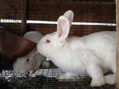 Продажа Кроликов (нзб, Колифорниец, и другие)
