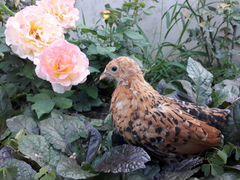 Мильфлер красный фарфор курочки, цыплята, инк. яйц