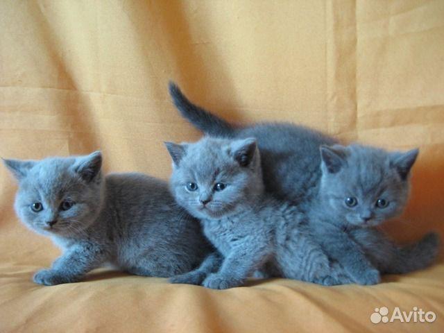 Британские котята - окрасы британских котят - фото ...