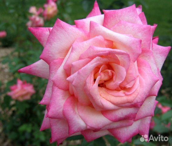 Где купить розы тантау подарок на60лет мужчине