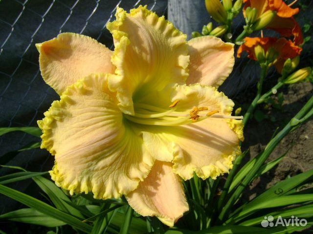 Лилейник садовые цветы 98