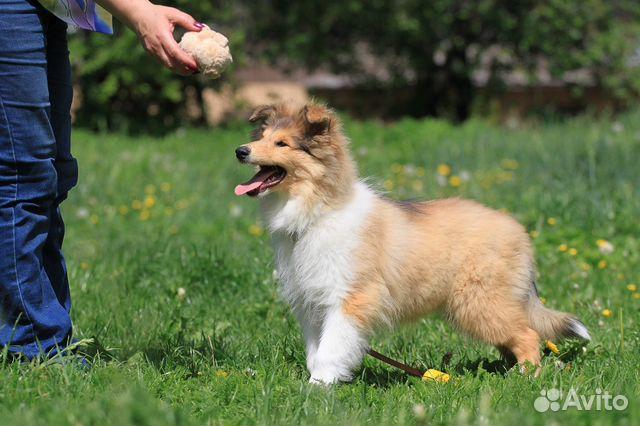 колли собака фото цена щенка