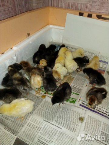 Продам цыплят от несушек купить 3