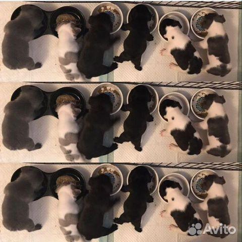Французский бульдог малыши купить на Зозу.ру - фотография № 1