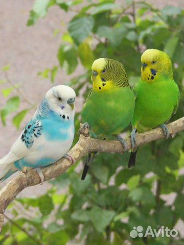 Попугаи купить 8