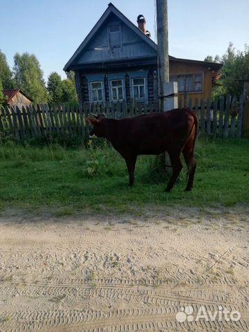 Корова  купить 5