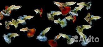 Рыбки гуппи  89530355025 купить 1