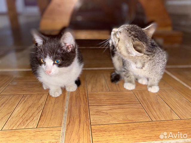 Два котенка  купить 1