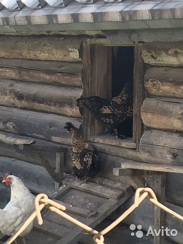 Курицы Королевская порода  89115446693 купить 2
