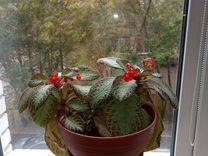 Комнатное растения эписция