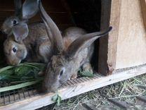 Кролики на разведение