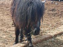 Жеребчики шетлендской пони
