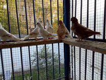 Голуби китайская чайка — Птицы в Москве