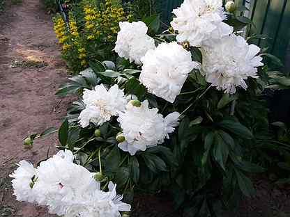 Цветы пионы, тюльпаны, примула