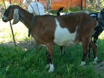 Англо-нубийские козлики и дойные козы