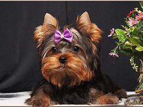 Красивые, породистые щенки Йорки.РКФ
