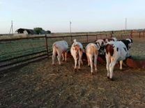 Крупно рогатый скот бычки