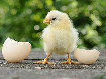 Инкубационное яйцо, цыплята кобб 500 и др — Птицы в Москве