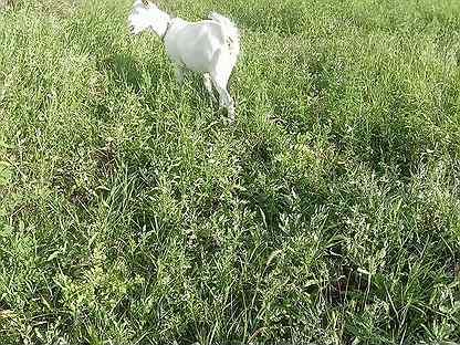 Молочная Козачка