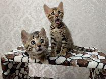 Котята бенгалята