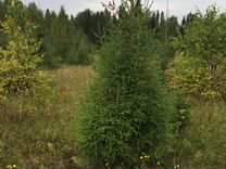Живые деревья