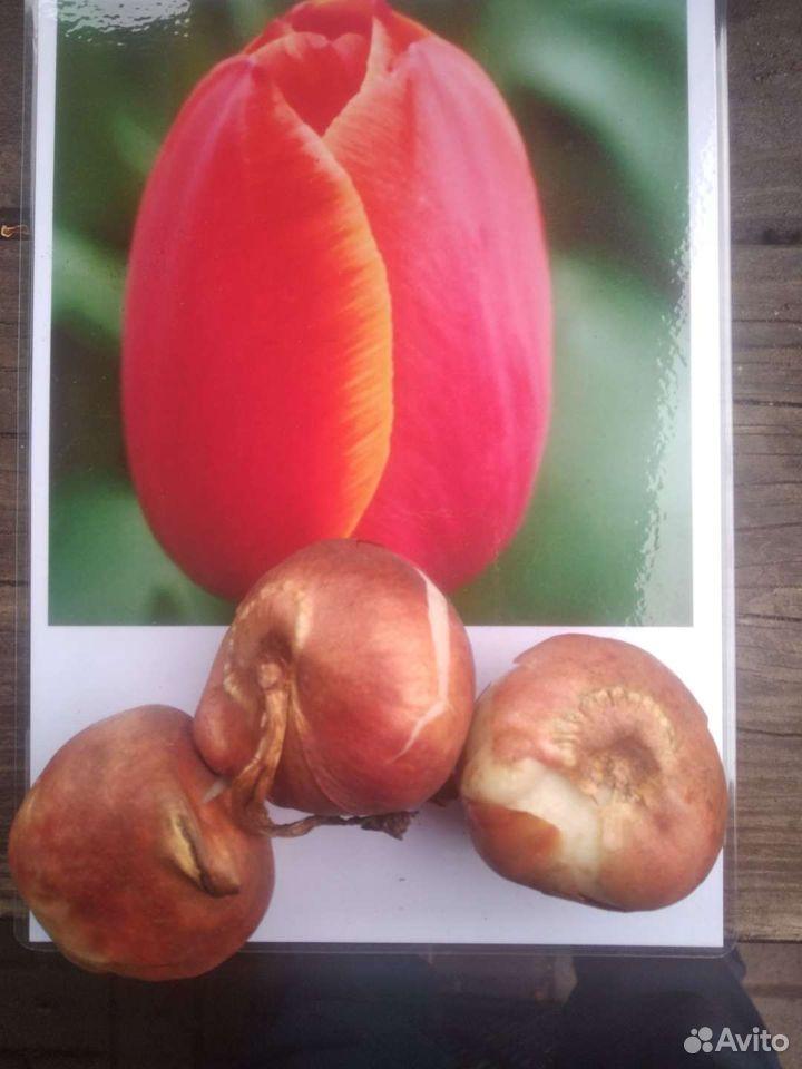 Тюльпаны  89500511750 купить 6