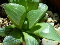 Хавортия Ретуза — Растения в Рязани