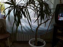 Драцена — Растения в Саратове