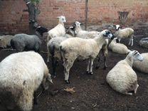 Овцы — Другие животные в Великовечном